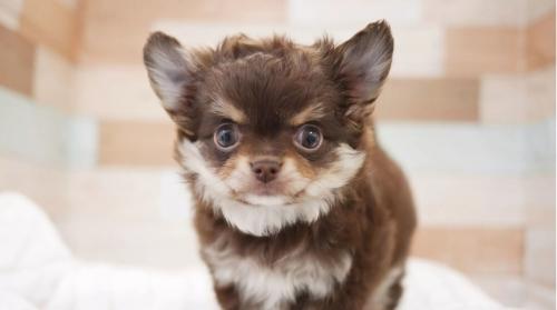 チワワ(ロング)の子犬(ID:1238511368)の1枚目の写真/更新日:2017-06-26
