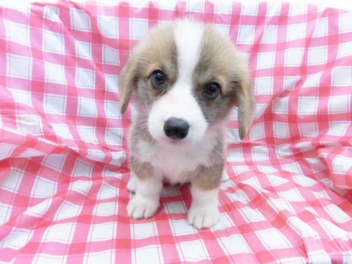 ウェルシュ・コーギー・ペンブロークの子犬(ID:1238511372)の1枚目の写真/更新日:2017-07-17