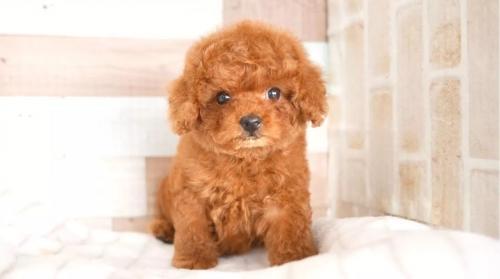 トイプードルの子犬(ID:1238511373)の1枚目の写真/更新日:2021-02-23