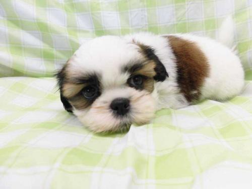 シーズーの子犬(ID:1238511377)の1枚目の写真/更新日:2017-08-07