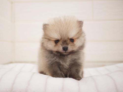 ポメラニアンの子犬(ID:1238511379)の1枚目の写真/更新日:2021-06-14