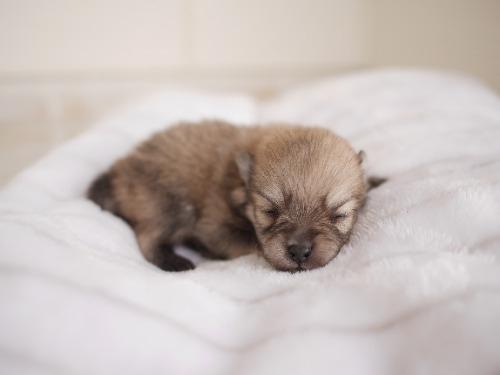 ポメラニアンの子犬(ID:1238511379)の2枚目の写真/更新日:2021-07-29