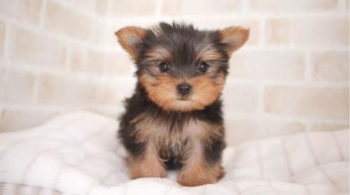 ヨークシャーテリアの子犬(ID:1238511380)の1枚目の写真/更新日:2017-09-01