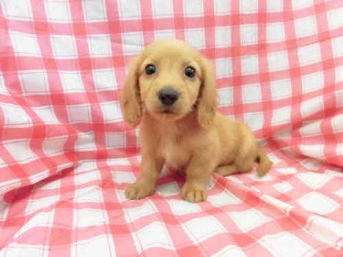 ミニチュアダックスフンド(ロング)の子犬(ID:1238511386)の1枚目の写真/更新日:2017-09-16
