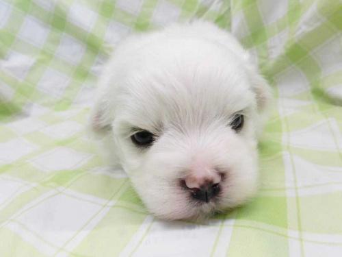 マルチーズの子犬(ID:1238511388)の1枚目の写真/更新日:2017-10-10