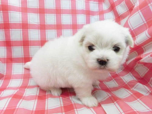 マルチーズの子犬(ID:1238511389)の1枚目の写真/更新日:2017-10-30