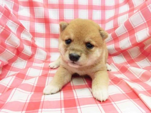 柴犬の子犬(ID:1238511390)の1枚目の写真/更新日:2017-10-10