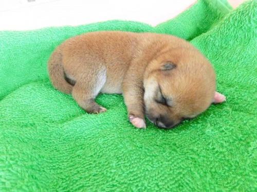 柴犬の子犬(ID:1238511391)の1枚目の写真/更新日:2017-10-10