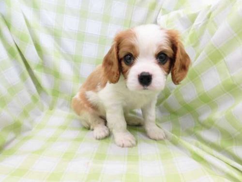キャバリアの子犬(ID:1238511392)の1枚目の写真/更新日:2017-10-10