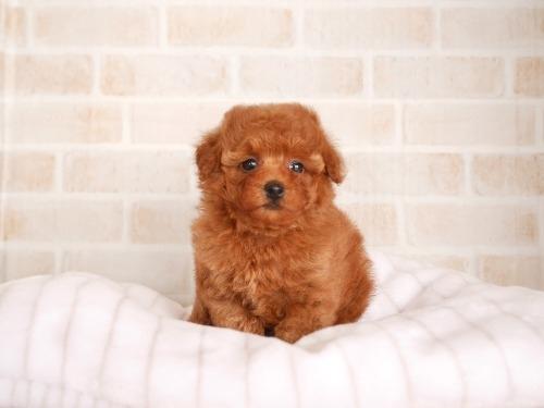 トイプードルの子犬(ID:1238511393)の1枚目の写真/更新日:2017-10-13