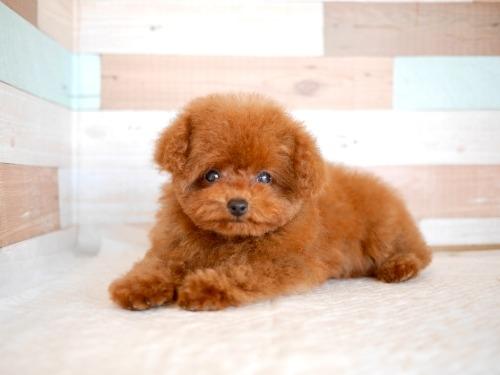 トイプードルの子犬(ID:1238511394)の1枚目の写真/更新日:2021-04-03