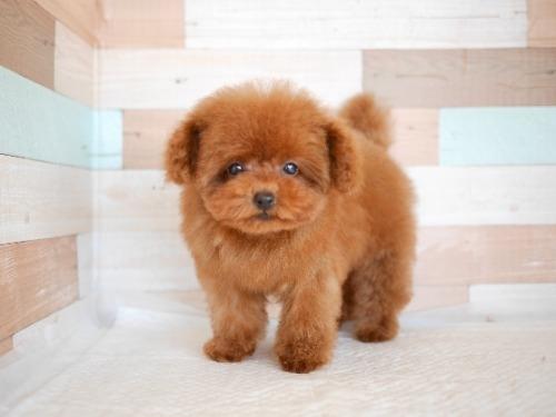 トイプードルの子犬(ID:1238511394)の2枚目の写真/更新日:2021-04-03