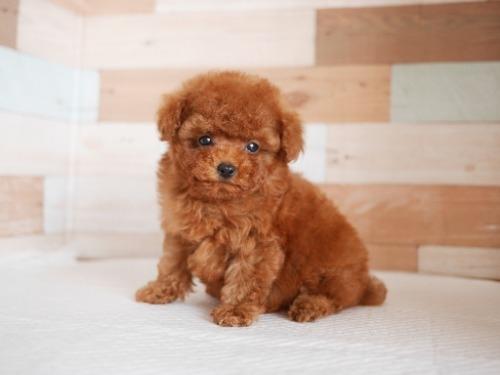 トイプードルの子犬(ID:1238511394)の3枚目の写真/更新日:2021-04-03