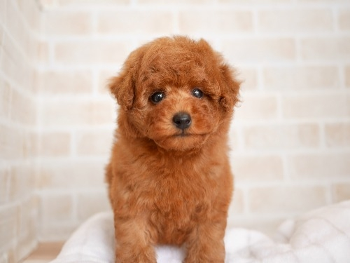 トイプードルの子犬(ID:1238511398)の1枚目の写真/更新日:2021-08-03
