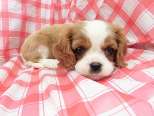 キャバリアの子犬(ID:1238511401)の1枚目の写真/更新日:2017-12-07