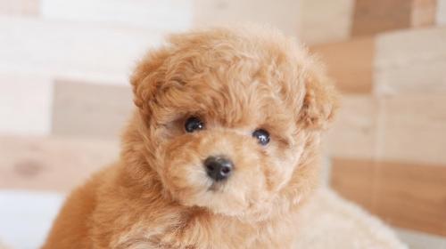 トイプードルの子犬(ID:1238511404)の1枚目の写真/更新日:2017-11-24