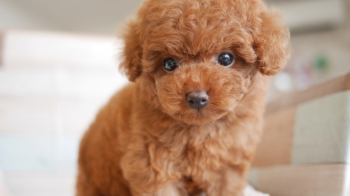 トイプードルの子犬(ID:1238511406)の1枚目の写真/更新日:2017-12-01