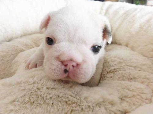 フレンチブルドッグの子犬(ID:1238511409)の1枚目の写真/更新日:2017-12-29