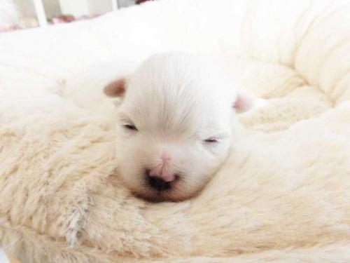 マルチーズの子犬(ID:1238511412)の1枚目の写真/更新日:2017-12-29
