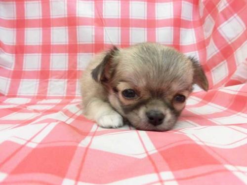 チワワ(ロング)の子犬(ID:1238511418)の1枚目の写真/更新日:2018-02-02