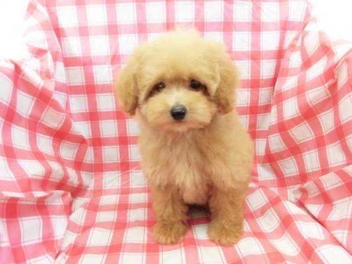 トイプードルの子犬(ID:1238511420)の1枚目の写真/更新日:2018-02-09