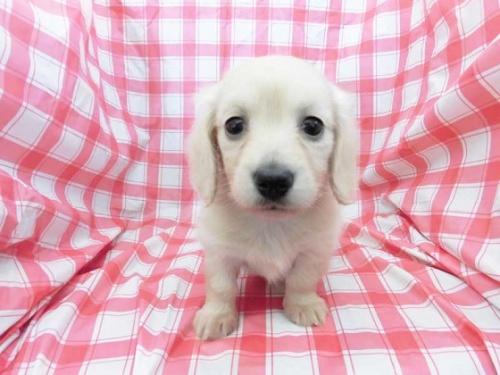 ミニチュアダックスフンド(ロング)の子犬(ID:1238511422)の1枚目の写真/更新日:2018-02-24