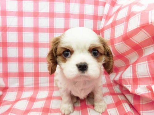 キャバリアの子犬(ID:1238511424)の1枚目の写真/更新日:2018-03-03