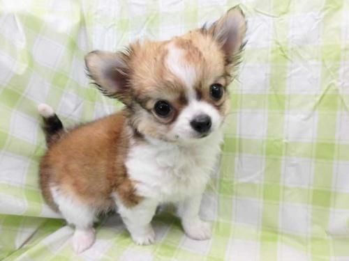 チワワ(ロング)の子犬(ID:1238511425)の1枚目の写真/更新日:2018-03-22
