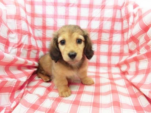 ミニチュアダックスフンド(ロング)の子犬(ID:1238511433)の1枚目の写真/更新日:2018-05-21