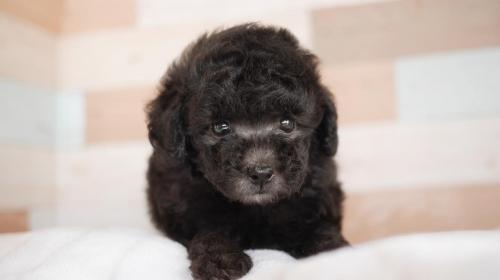 トイプードルの子犬(ID:1238511434)の1枚目の写真/更新日:2018-04-16