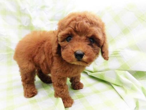 トイプードルの子犬(ID:1238511435)の1枚目の写真/更新日:2018-04-23