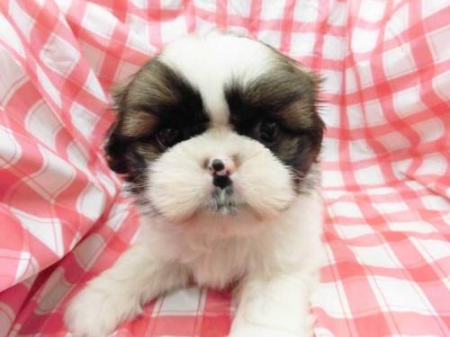 シーズーの子犬(ID:1238511436)の1枚目の写真/更新日:2018-05-07