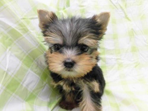 ヨークシャーテリアの子犬(ID:1238511437)の1枚目の写真/更新日:2018-05-07
