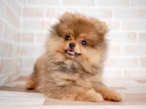 ポメラニアンの子犬(ID:1238511439)の1枚目の写真/更新日:2018-06-14