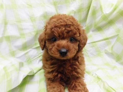 トイプードルの子犬(ID:1238511440)の1枚目の写真/更新日:2018-08-19