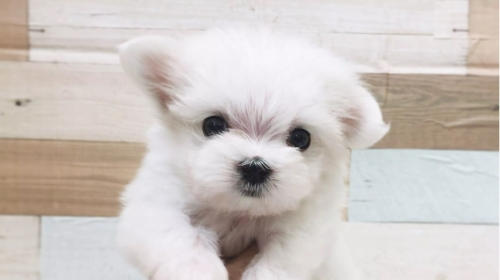 マルチーズの子犬(ID:1238511443)の1枚目の写真/更新日:2020-10-24