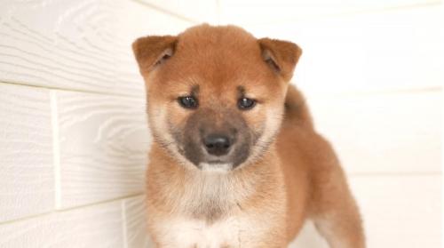 柴犬の子犬(ID:1238511451)の1枚目の写真/更新日:2021-08-24
