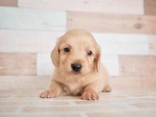 ミニチュアダックスフンド(ロング)の子犬(ID:1238511456)の1枚目の写真/更新日:2021-10-12
