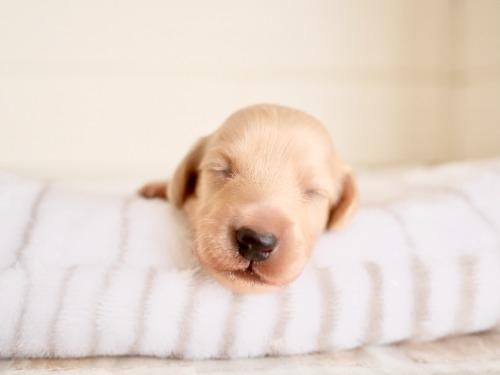 ミニチュアダックスフンド(ロング)の子犬(ID:1238511456)の2枚目の写真/更新日:2021-10-12