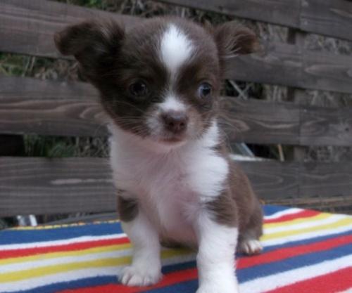 チワワ(ロング)の子犬(ID:1238911143)の2枚目の写真/更新日:2017-04-10