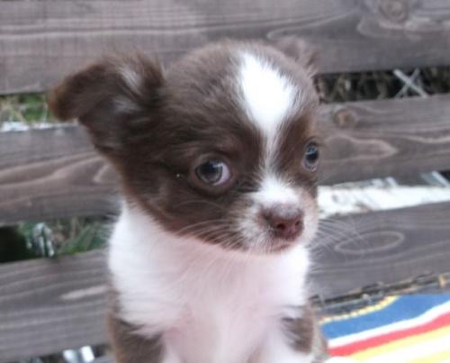 チワワ(ロング)の子犬(ID:1238911143)の3枚目の写真/更新日:2017-04-10