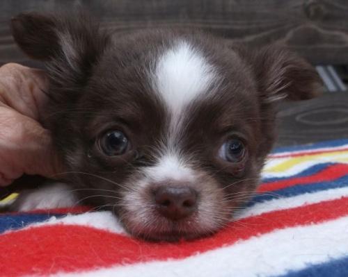 チワワ(ロング)の子犬(ID:1238911143)の4枚目の写真/更新日:2017-04-10