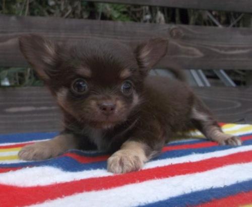 チワワ(ロング)の子犬(ID:1238911144)の1枚目の写真/更新日:2017-04-10