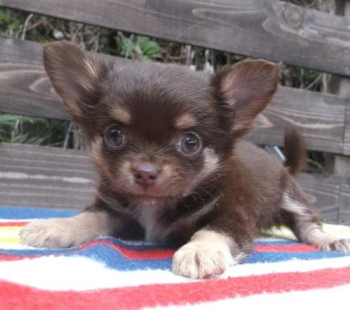 チワワ(ロング)の子犬(ID:1238911144)の2枚目の写真/更新日:2017-04-10