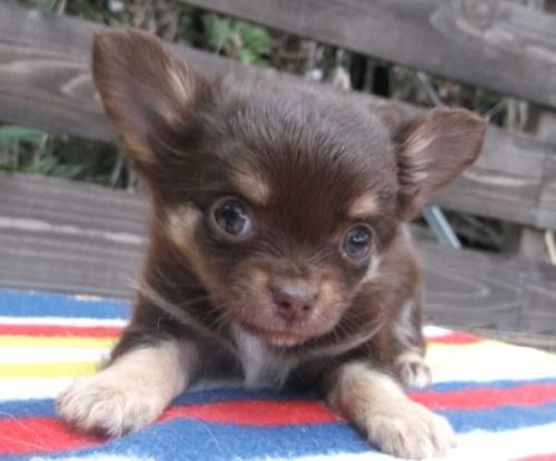 チワワ(ロング)の子犬(ID:1238911144)の3枚目の写真/更新日:2017-04-10