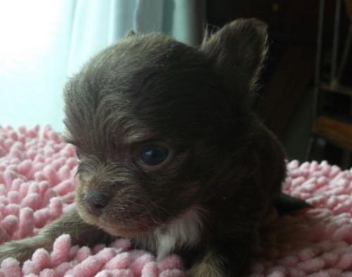 チワワ(ロング)の子犬(ID:1238911145)の1枚目の写真/更新日:2017-03-28