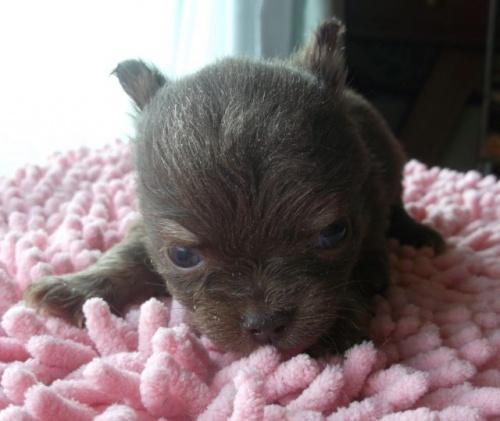 チワワ(ロング)の子犬(ID:1238911145)の2枚目の写真/更新日:2017-03-28