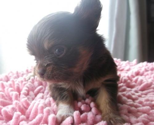 チワワ(ロング)の子犬(ID:1238911145)の3枚目の写真/更新日:2017-03-28