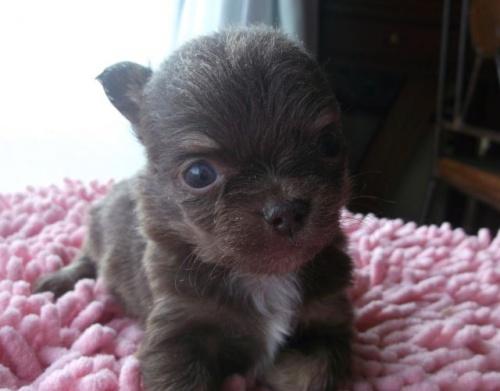 チワワ(ロング)の子犬(ID:1238911145)の4枚目の写真/更新日:2017-03-28