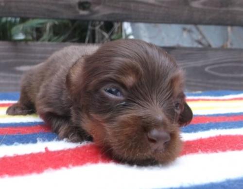 ミニチュアダックスフンド(ロング)の子犬(ID:1238911147)の3枚目の写真/更新日:2017-04-10